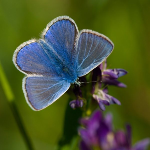 Common Blue (Polyommatus icarus). Denmark in August