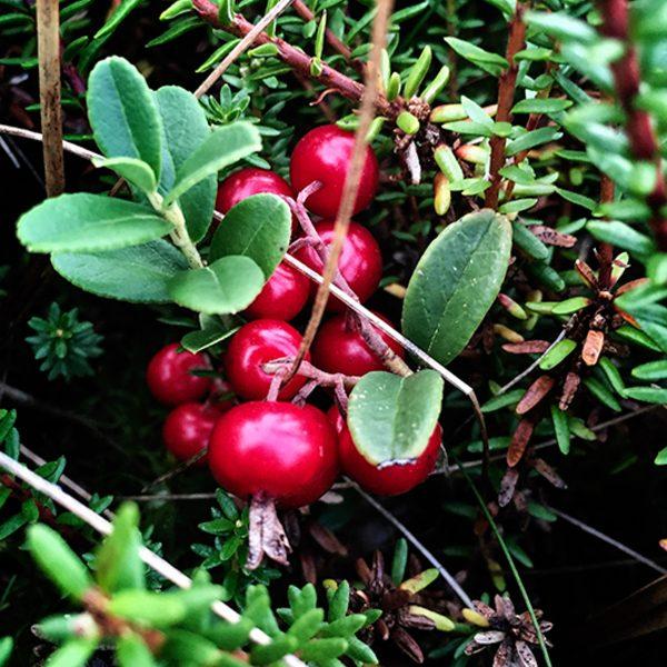 Sanke tyttebær_p6_i1